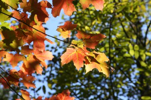 September_clh_sugarmaple_stlouuis_mn